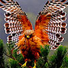 Wrathy forest hawk puzzle